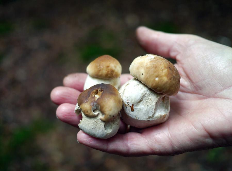 Tre flotte eksemplarer. Ganske vist har skovbundens logerende været forbi, men det ødelægger ikke smagen.